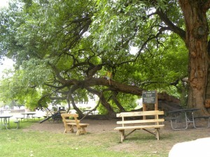 Picnic Area at Osage Orange Tree