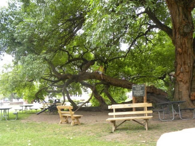 Osage Orange Tree Harrodsburg KY