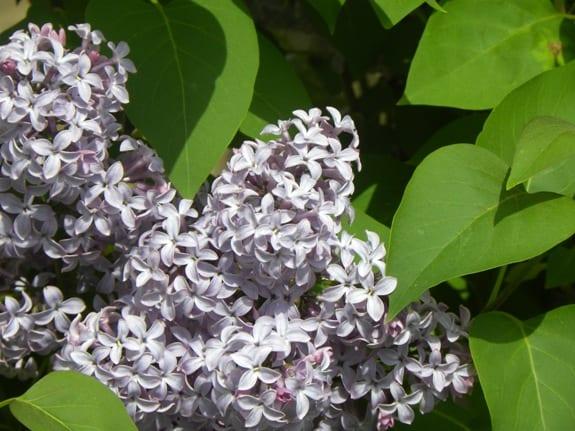 lilacs may 4