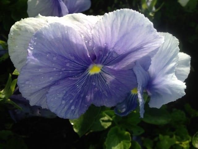 anne flower