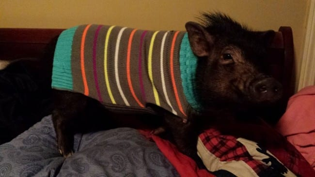 paisley-the-pig