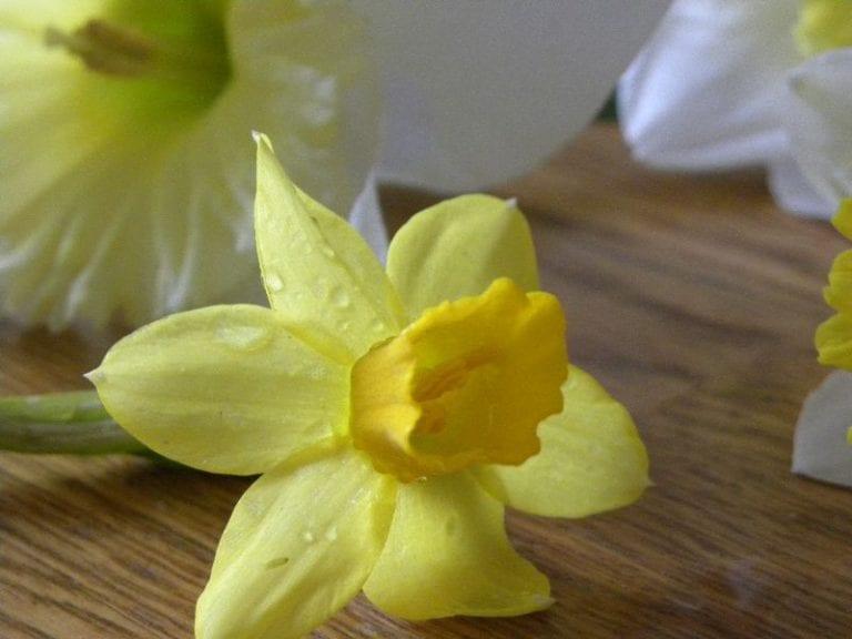 Beauty of a Daffodil
