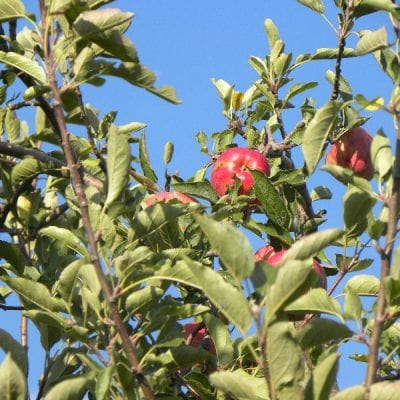 All about Apple Trees
