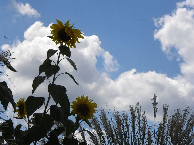 sunflowers-summer
