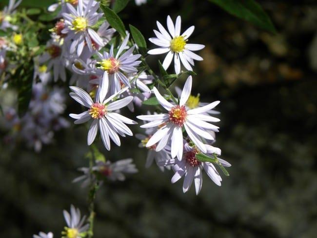 dupree flower
