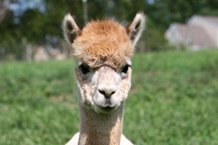Raising Alpacas for Fleece and Felting