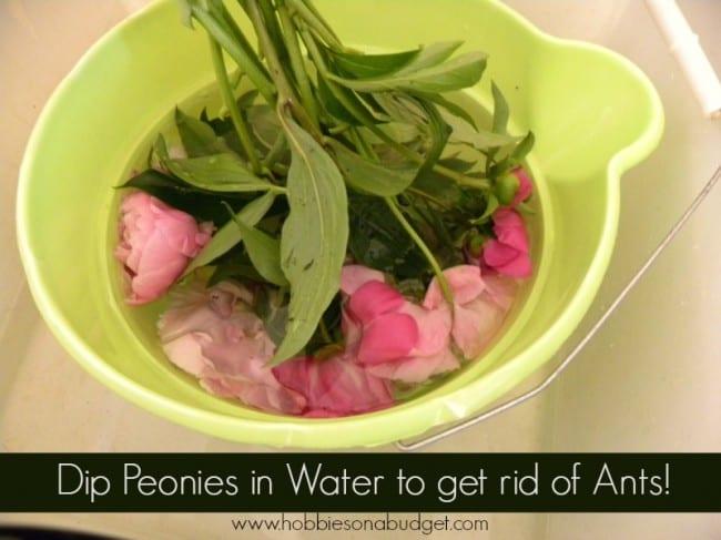 peonies in water