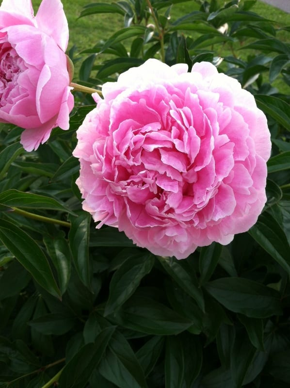How to Enjoy Cut Peonies without the Ants