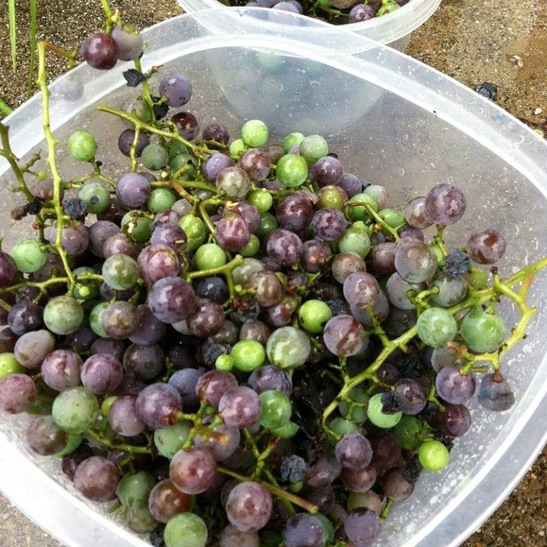 Enjoying & Picking Grapes in Kentucky