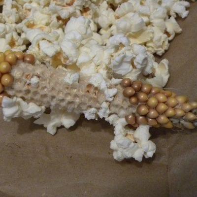 Growing Popcorn in our Garden