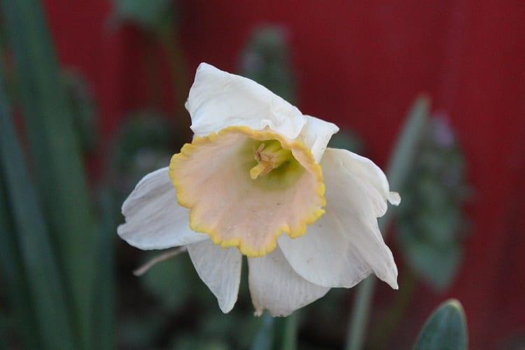 daffodil 4-10