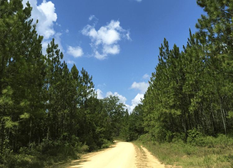 pinecones alabama