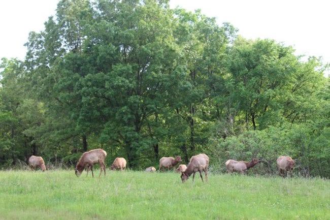elk bison prairie 5 elk herd