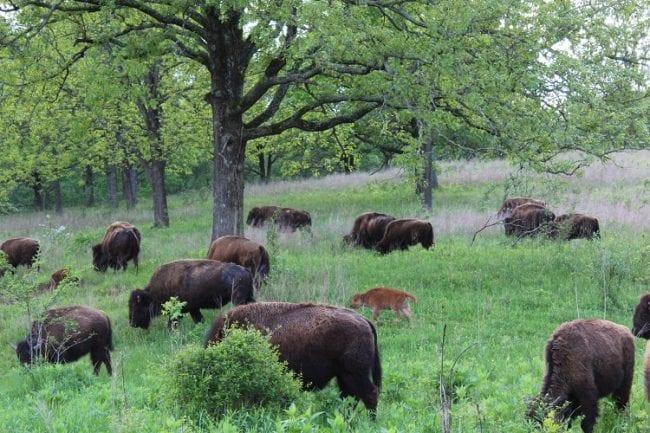 elk bison prairie 8 bison