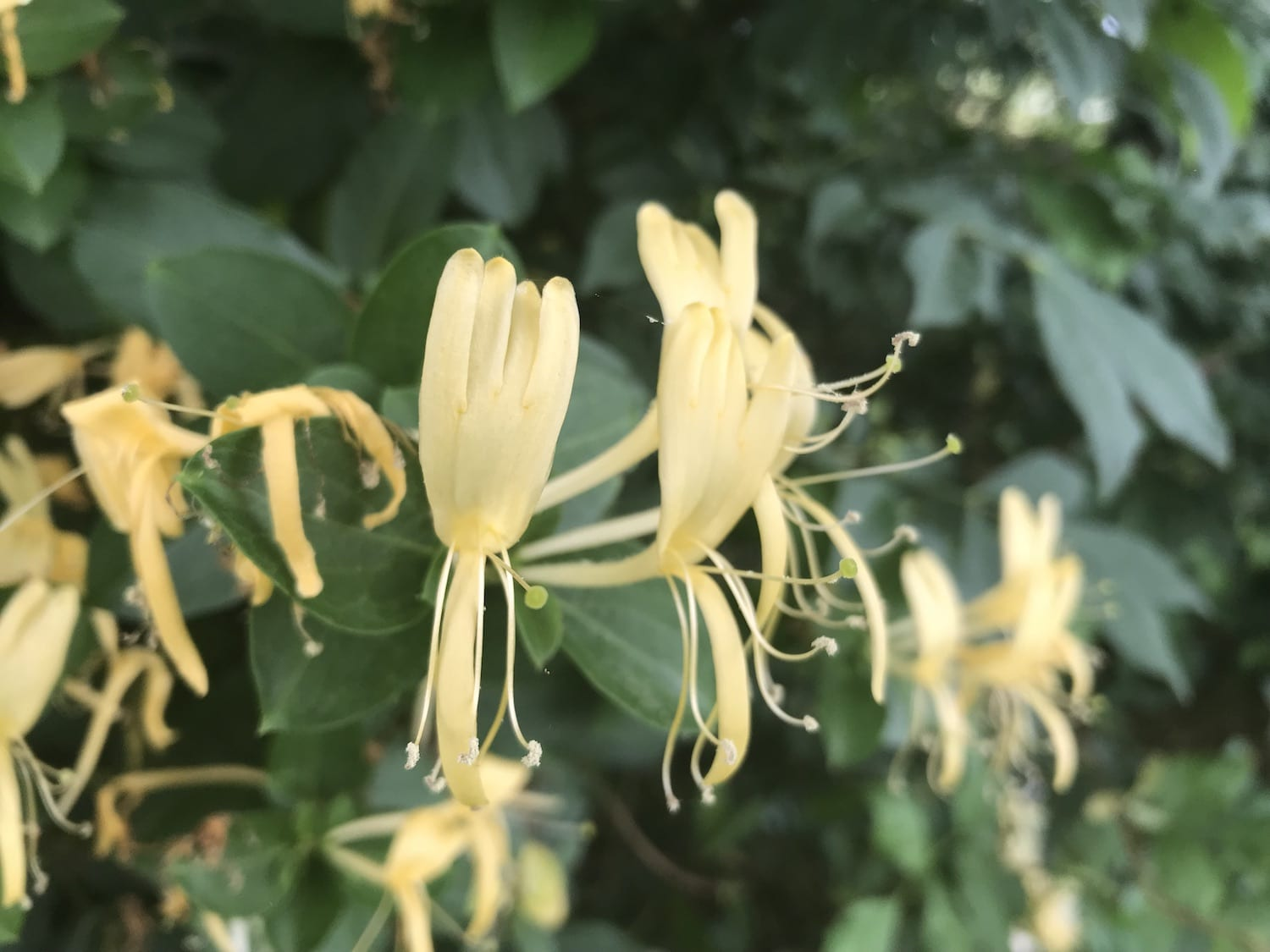 honeysuckle vines