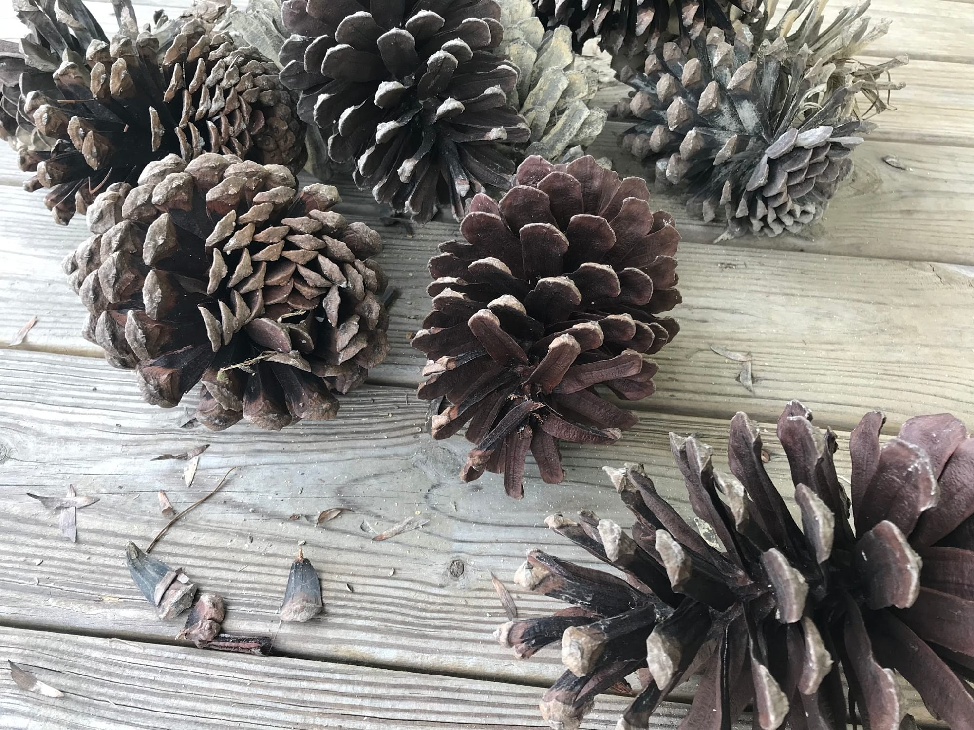 Cleaning & Collecting Pinecones
