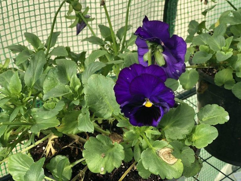 Winter Greenhouse Gardening Update